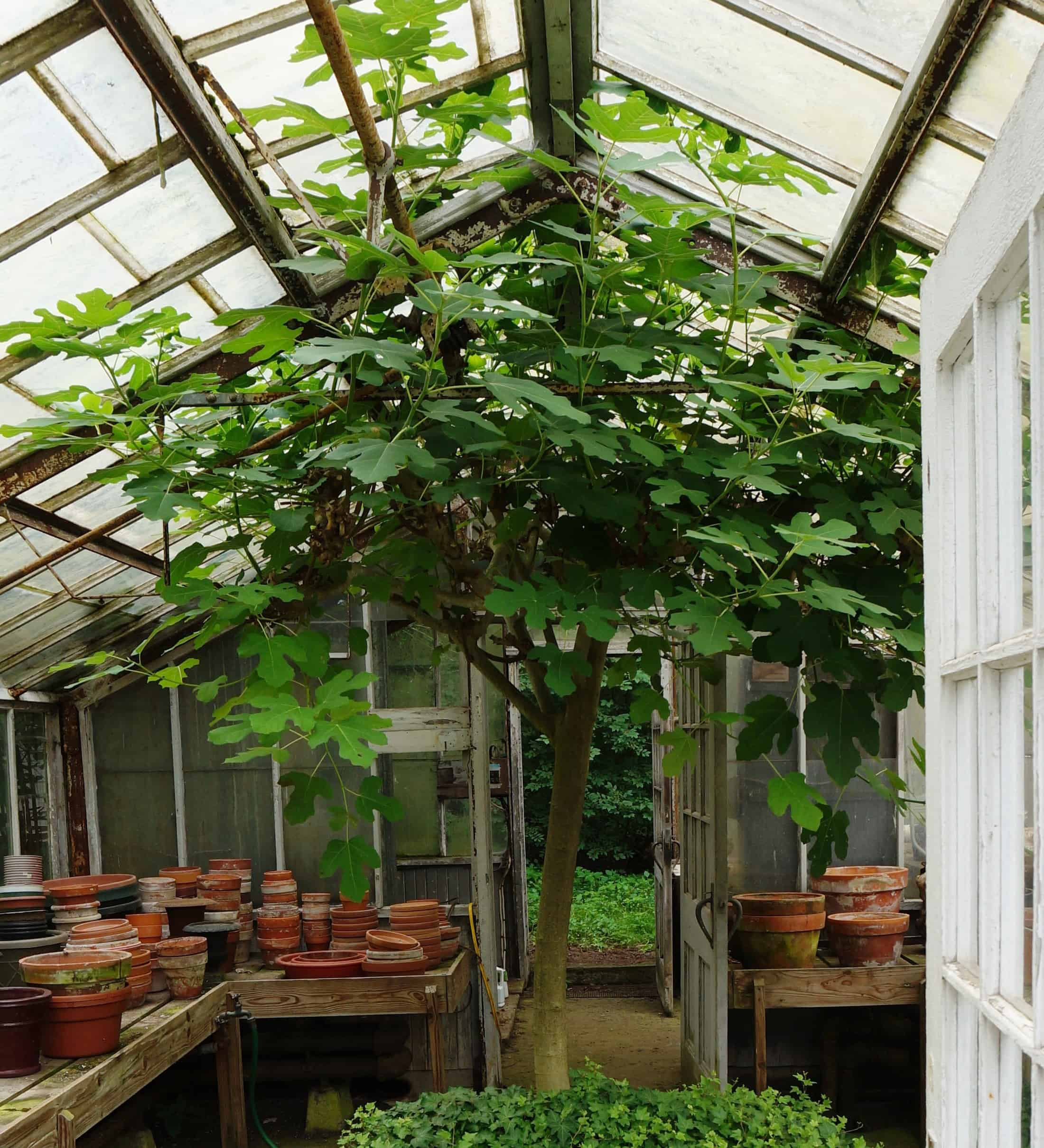©2014 Shelley S. Cramm An old fig tree in a private garden greenhouse in Pittsburgh, PA. Don't let your northern climate keep you from cultivating delicious figs!