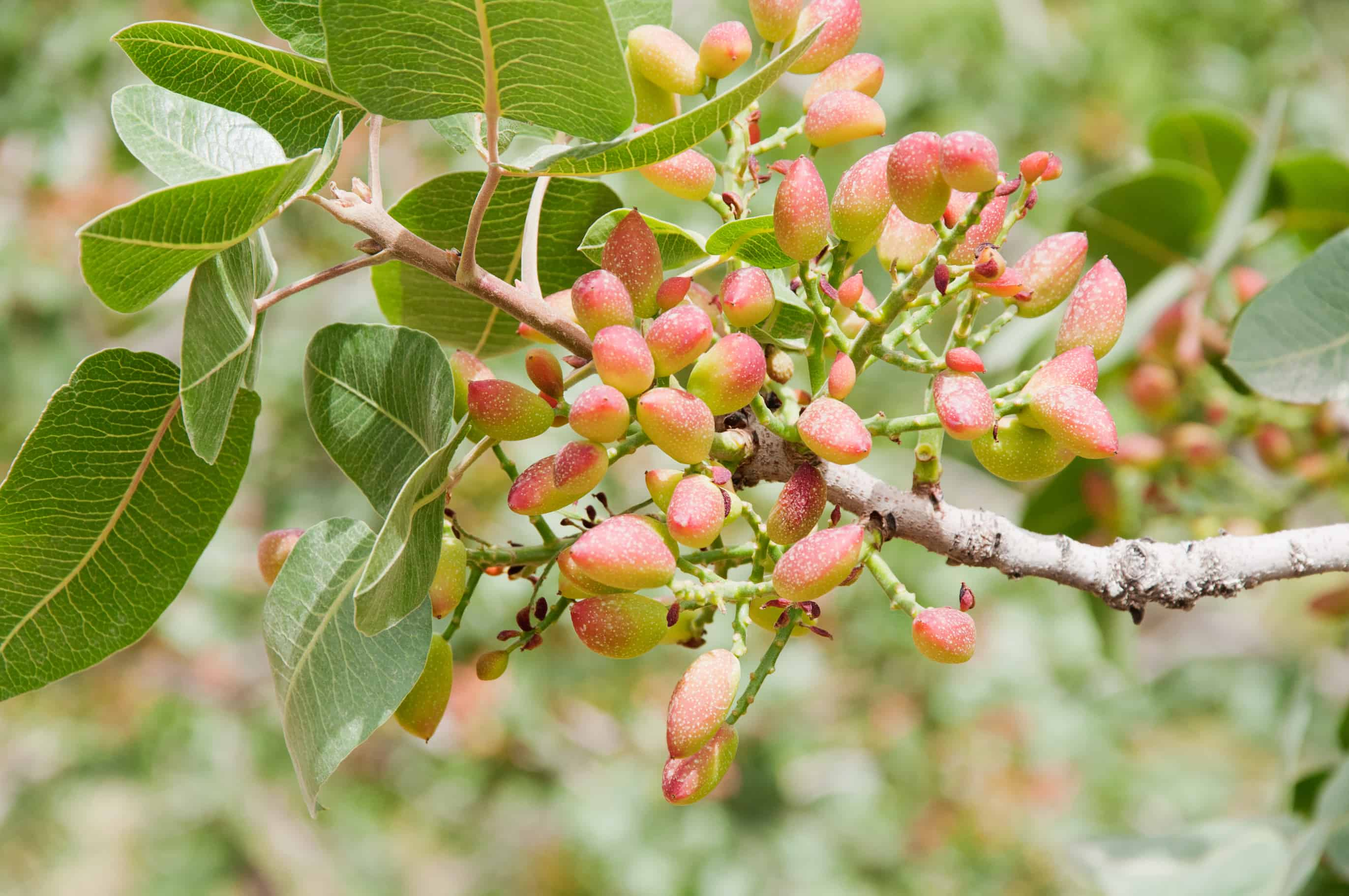 © Almaamor | Dreamstime.com - Pistachio nuts ripening on branch