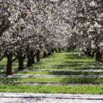 spring ahead PaRDeS blooming almond orchard California