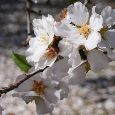 What Can We See in the Almond Tree?