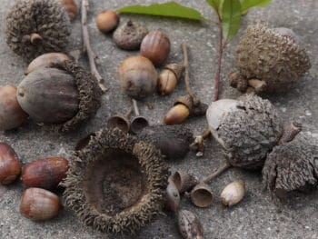 acorns grow oak trees