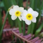 narcissus flowers up close