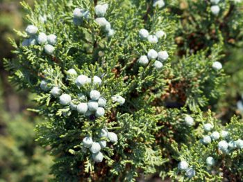 Greek juniper berries on branches