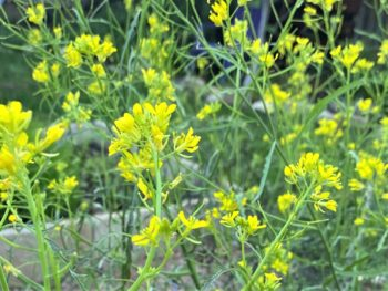 'ruby streaks' mustard flowers filling a March garden in Texas