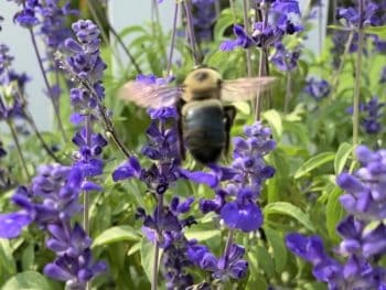 big bee on purple salvia in the sunshine