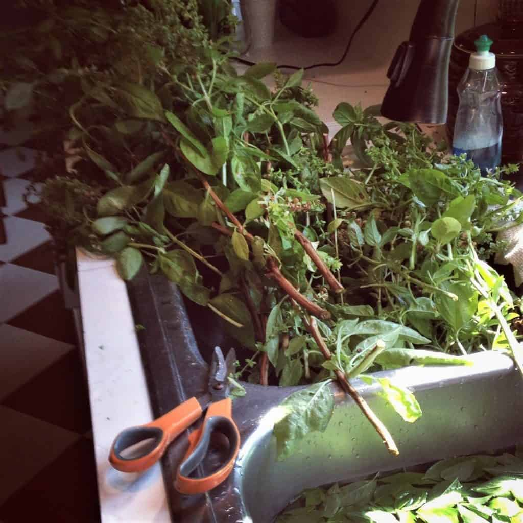 bringing in herbs is work! What a bountiful mess!!
